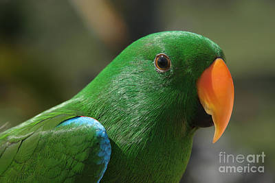Eclectus Parrot Photograph - Male Eclectus Parrot by Sharon Mau