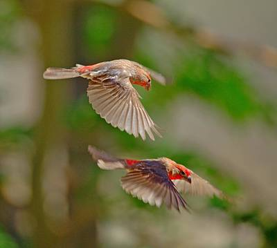 Photograph - Male Finch's by SB Sullivan