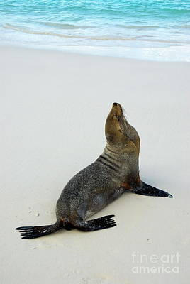 Male Galapagos Sea Lion Standing On Beach Art Print by Sami Sarkis