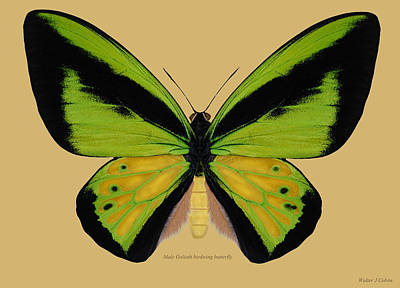 Digital Art - Male Goliath Birdwing Butterfly by Walter Colvin