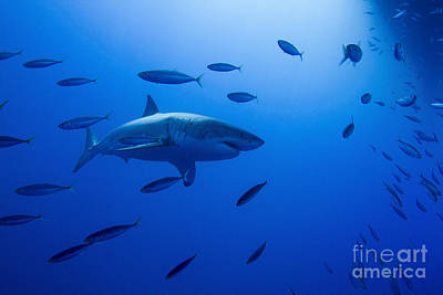 Male Great White Shark And Bait Fish Art Print