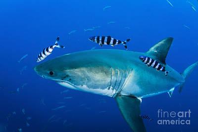 Male Great White Shark And Pilot Fish Art Print by Todd Winner