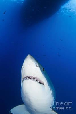 Male Great White Shark Showing Teeth Art Print by Todd Winner
