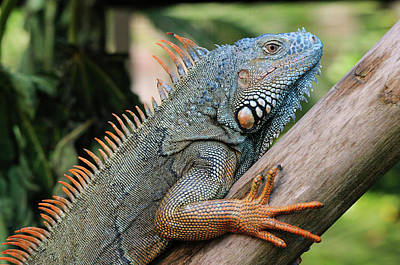 Iguana Photograph - Male Green Iguana by Tom Schwabel
