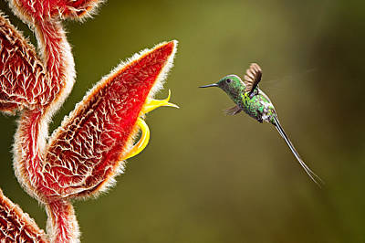 Green Thorntail Photograph - Male Green Thorntail Hummingbird by Hali Sowle
