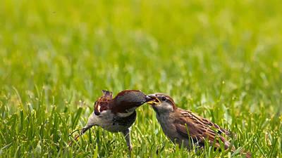 Male House Sparrow Feeding Female Art Print by Bill Tiepelman