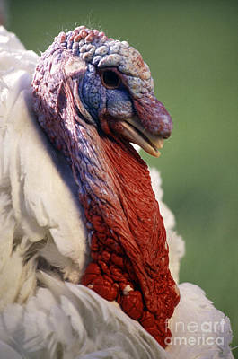 Male Large White Turkey Art Print by Science Source