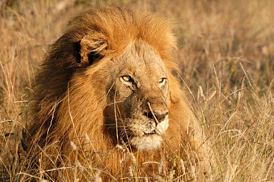 Male Lion During Winter In Tall Grass Original