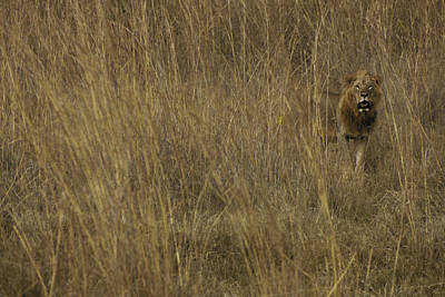 Nairobi Photograph - Male Lion Lets His Presence Be Known by Jason Edwards