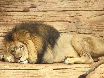 Male Lion Resting Art Print