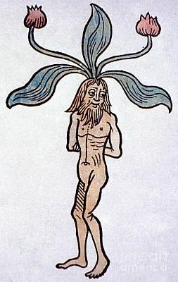 Mayapple Photograph - Male Mandrake Alchemy Plant by Science Source