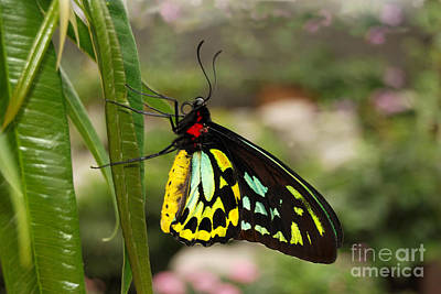 Art Print featuring the photograph Male New Guinea Birdwing Butterfly by Eva Kaufman