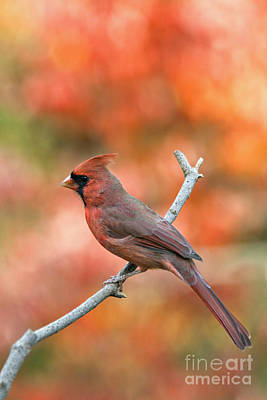 Antique Maps - Male Northern Cardinal - D007810 by Daniel Dempster