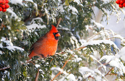 Male Northern Cardinal. Art Print by Kelly Nelson