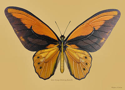 Digital Art - Male Orange Birdwing Butterfly by Walter Colvin