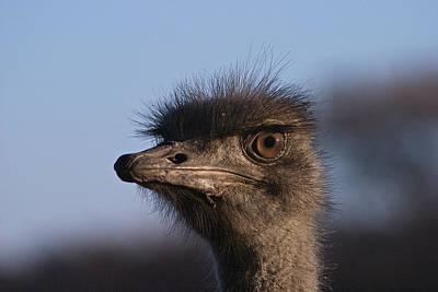 Male Ostrich Namibia Art Print by David Kleinsasser