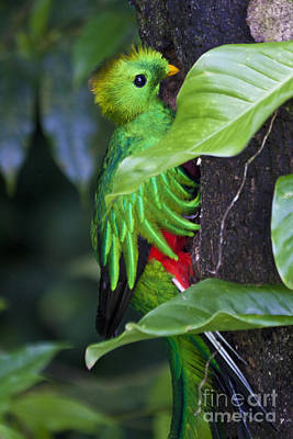 Quetzal Photograph - Male Quetzal At Nest Site by Heiko Koehrer-Wagner