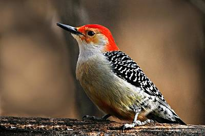 Male Red-bellied Woodpecker 4 Art Print by Larry Ricker