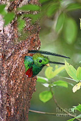 Photograph - Male Resplendent Quetzal In Nest Hole by Greg Dimijian