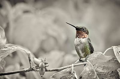 Photograph - Male Ruby Throated Hummingbird by Lori Coleman