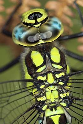 Vertex Photograph - Male Southern Hawker Dragonfly by Colin Varndell