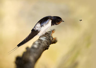 Bird Deterrent Photograph - Male Swallow by Power And Syred