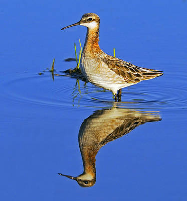 Photograph - Male Wilson's Phalarope by Tony Beck
