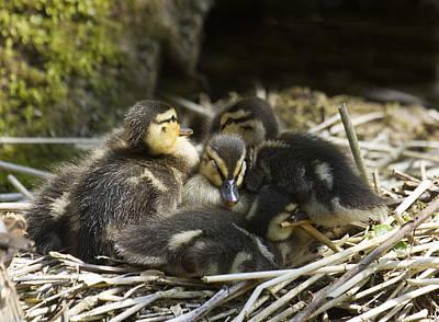 Mallard Chicks Original by Bob Kemp