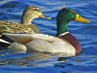 Photograph - Mallard Couple by Eve Spring