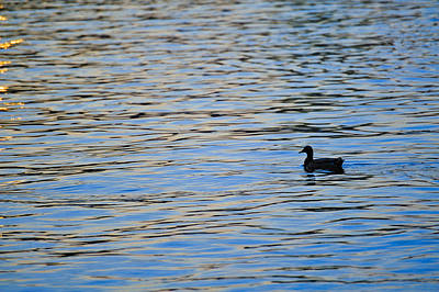 Art Print featuring the photograph Mallard Duck And Blue Water by Marianne Campolongo
