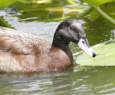 Lisa Williams Photograph - Mallard Duck by Lisa Williams