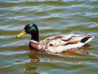 Photograph - Mallard Duck by Susan Savad