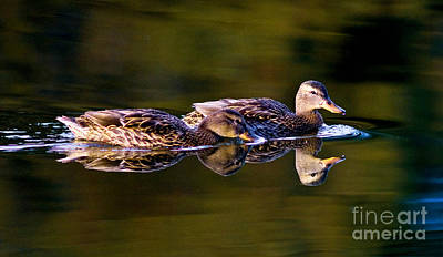 Waterfowl Photograph - Mallard Duck Swimming 6 by Terry Elniski