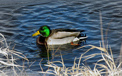 Photograph - Mallard Duck Swimming by Ms Judi
