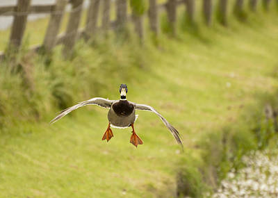 Y120831 Photograph - Mallard In Flight by Www.mpcphotogrpahy.co.uk
