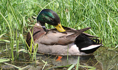 Karen Jordan Wall Art - Photograph - Mallard In Repose by Karen Jordan