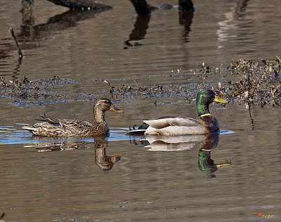 Photograph - Mallard Mates Dwf085 by Gerry Gantt