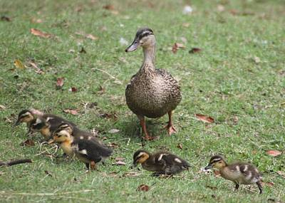 Photograph - Mallard Mom And Ducklings by Jeanne Kay Juhos