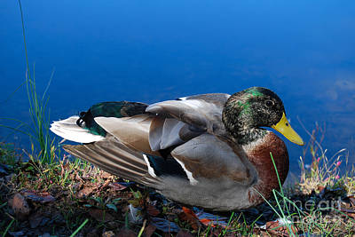 Photograph - Mallard On River Bank by Eva Kaufman