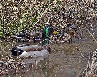 Photograph - Mallard Pair Dwf016 by Gerry Gantt