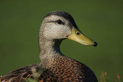 Wild Duck Photograph - Mallard Posing by Karol Livote
