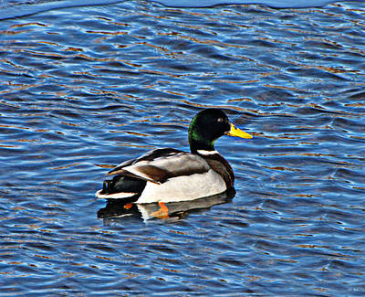 Photograph - Mallard Swimming by Ms Judi