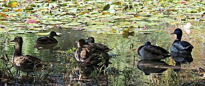 Photograph - Mallards On The Pond by Jo Sheehan