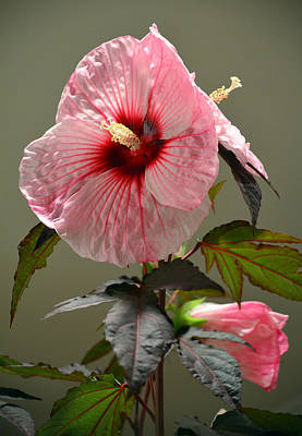 Mallow Hibiscus Art Print by Sandi OReilly