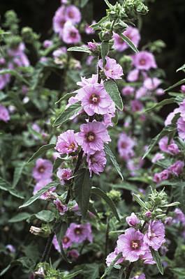 Lavatera Flowers Photograph - Mallow (lavatera Olbia 'pink Frills') by Adrian Thomas
