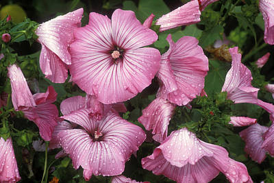 Lavatera Flowers Photograph - Mallow (lavatera Trimestris 'silver Cup') by Dr Keith Wheeler
