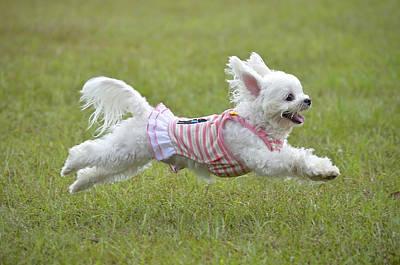 Maltese Dog Photograph - Maltese Running by Boti
