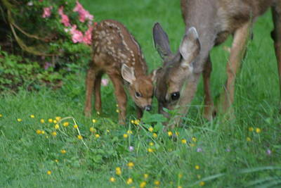 Mama And Spotted Baby Fawn Art Print by Kym Backland