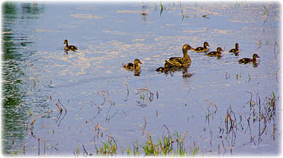 Photograph - Mama Duck And The Kiddies by Mick Anderson