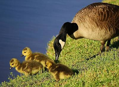 Mama Geese With Her Babies Art Print by Paulette Thomas